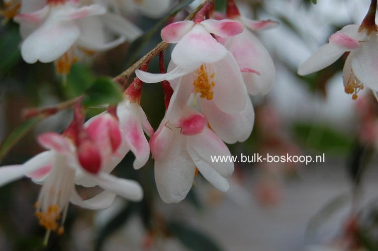 Camellia 'Elina Cascade'