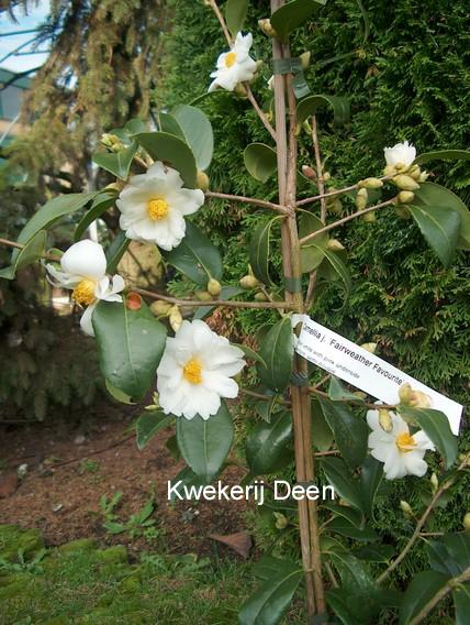 Camellia 'Fairweather Favourite'