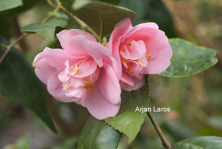 Camellia 'Minato-no-hana'