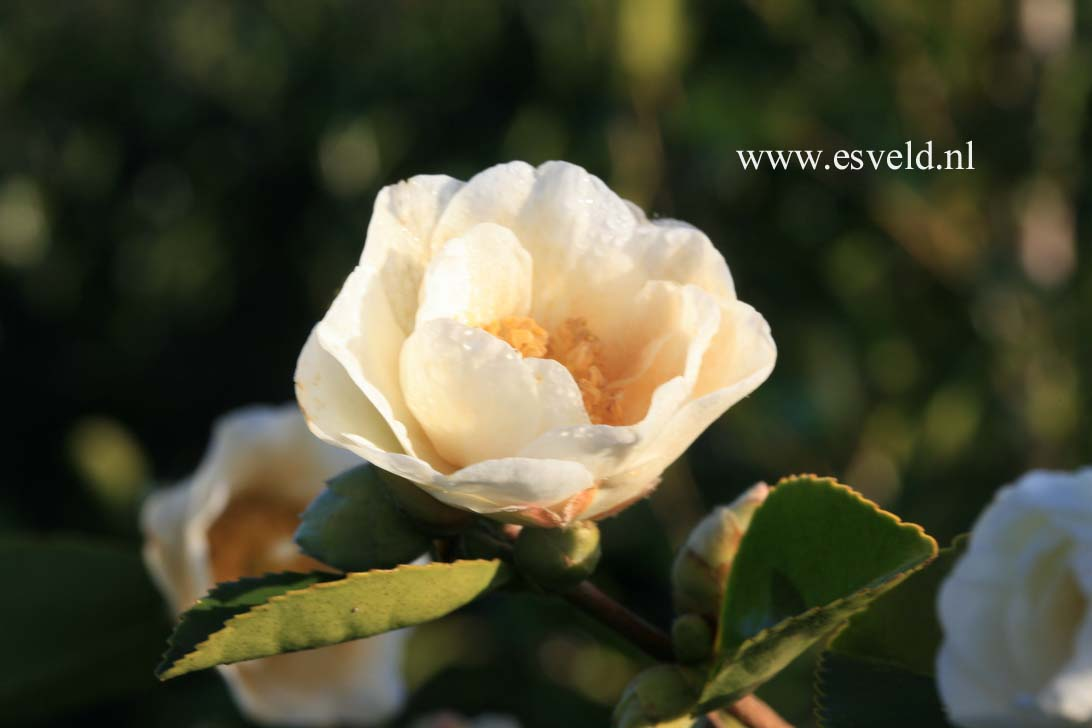Camellia 'Winter's Hope'