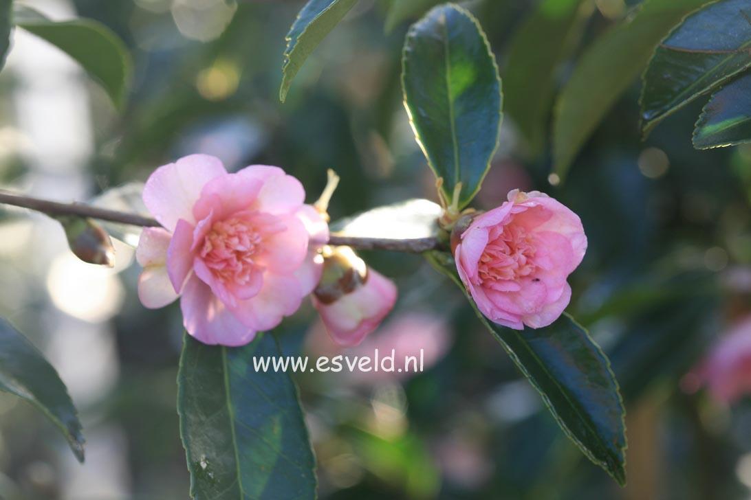 Camellia 'Winter's Interlude'