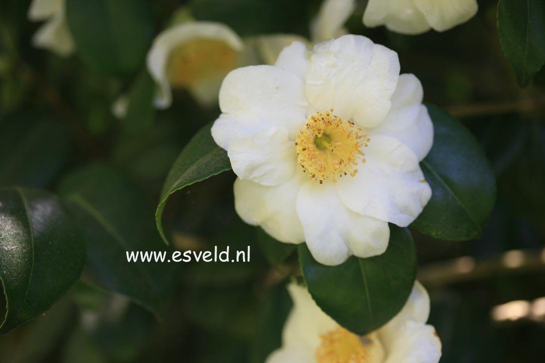 Camellia japonica 'Alba Simplex'