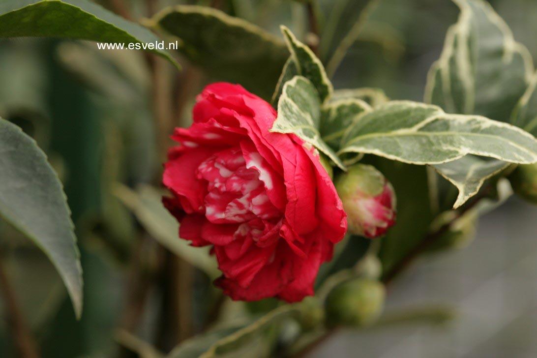 Camellia japonica 'Benten-kagura'