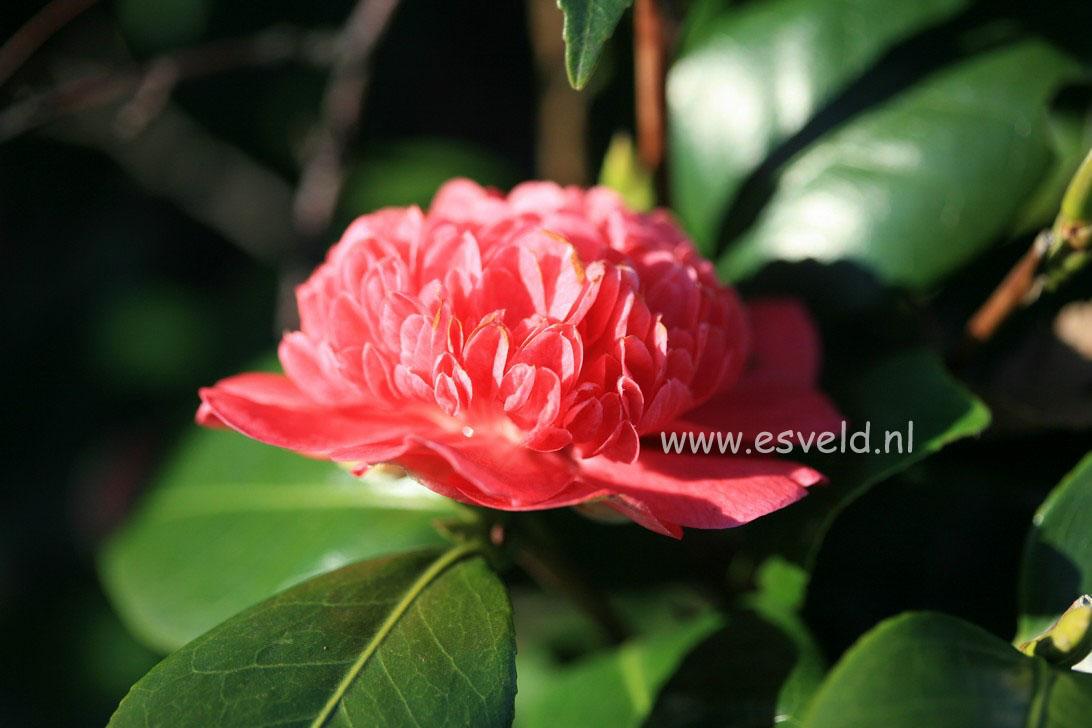 Camellia japonica 'Cardinal's Cap'