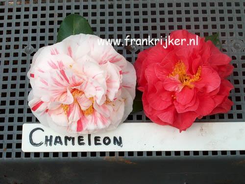 Camellia japonica 'Chameleon'