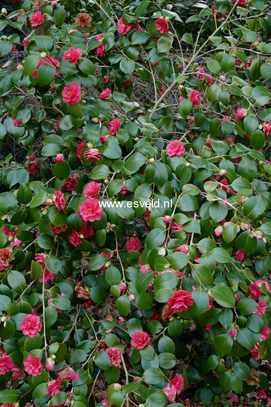 Camellia japonica 'Covina'