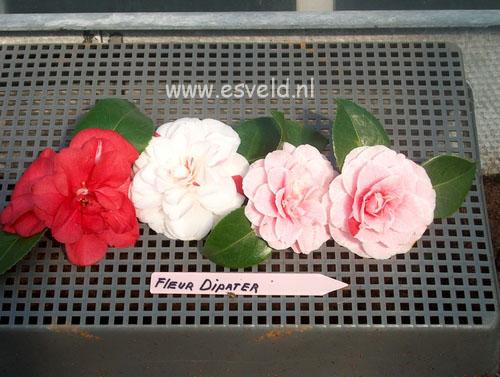 Camellia japonica 'Fleur Dipater'