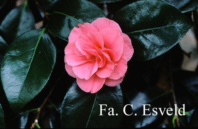Camellia japonica 'Gloire de Nantes'