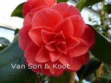Camellia japonica 'Hippolyte Thoby'