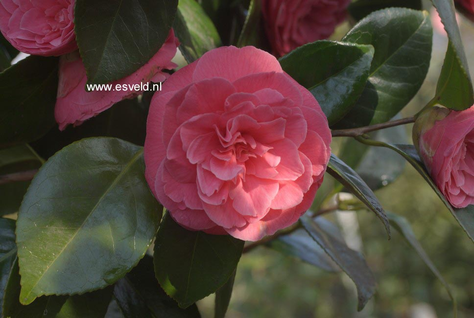 Camellia japonica 'Jerry Hill'