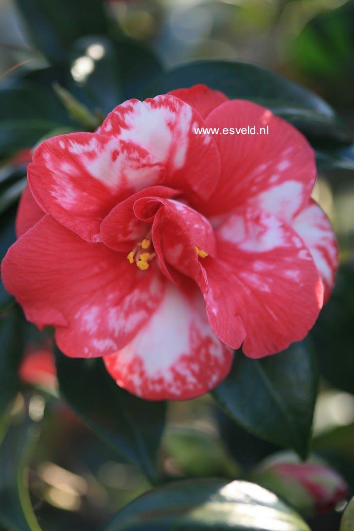 Camellia japonica 'Masayoshi'