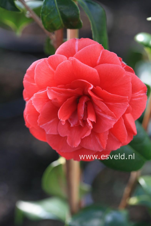 Camellia japonica 'Spring Cardinal'