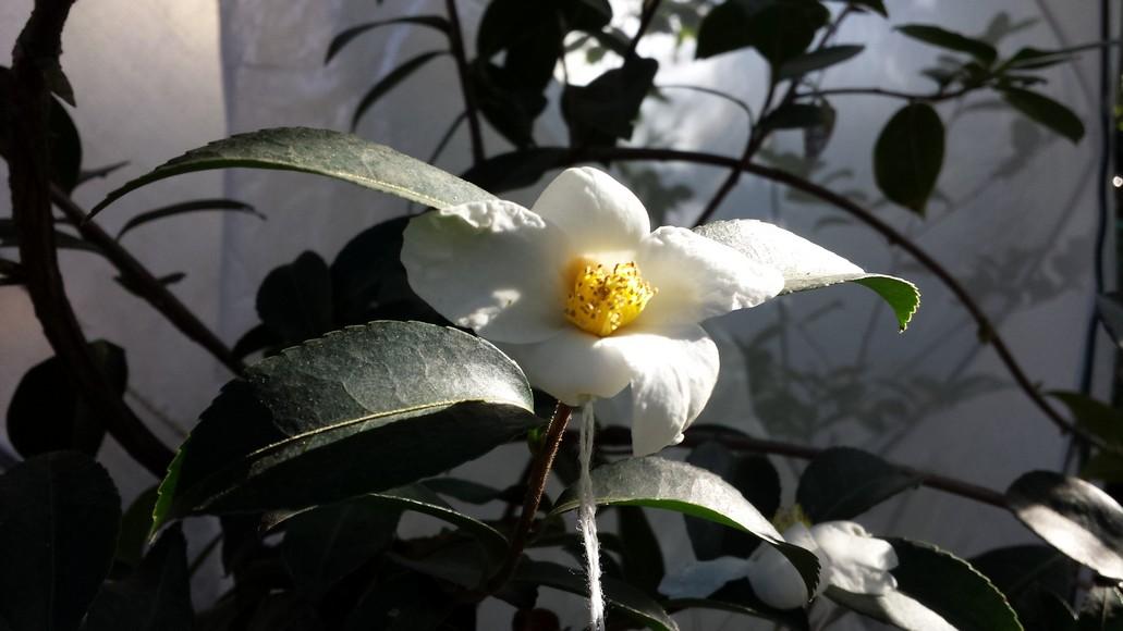 Camellia obtusifolia