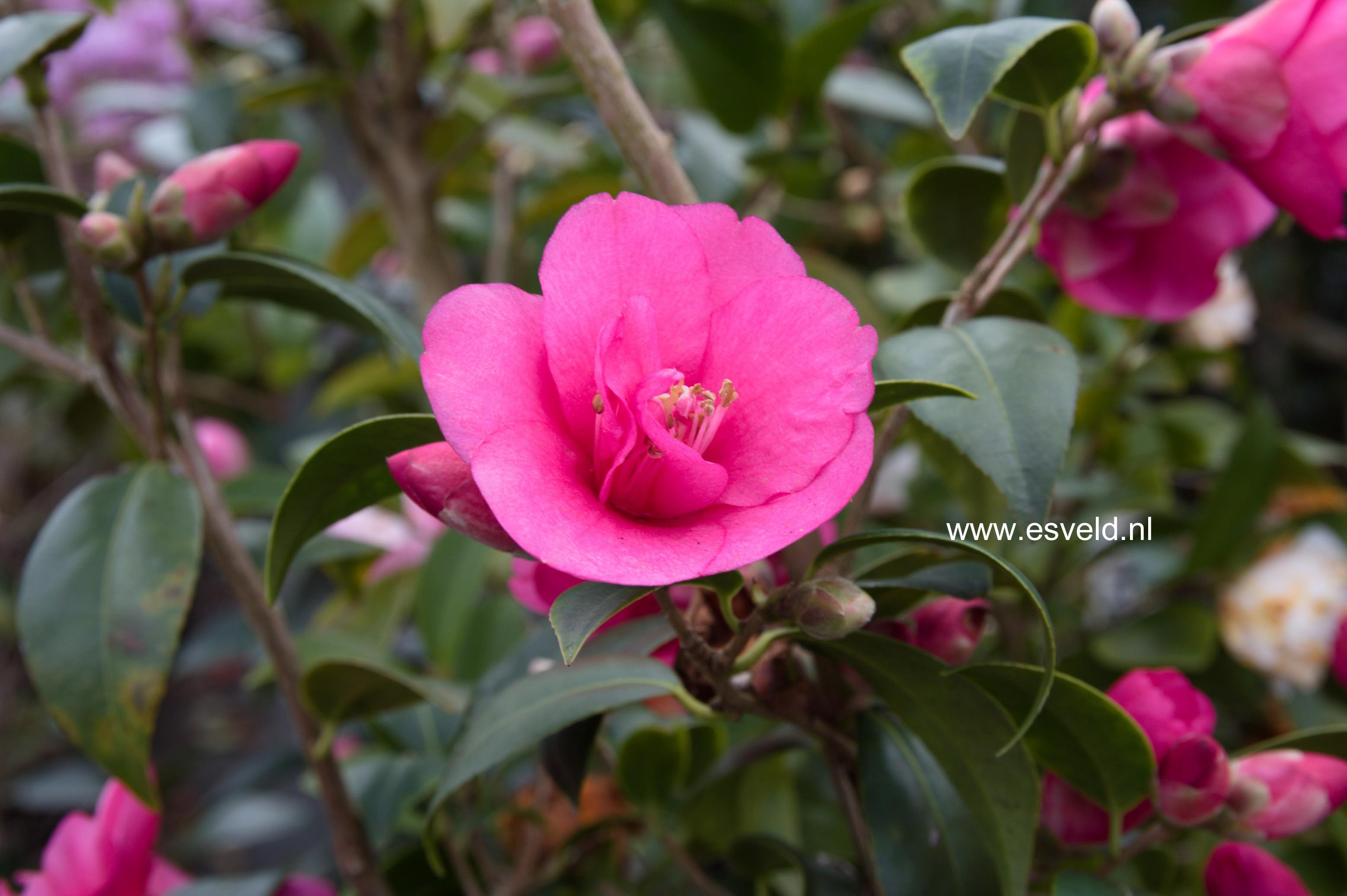 Camellia williamsii 'Gay Baby'