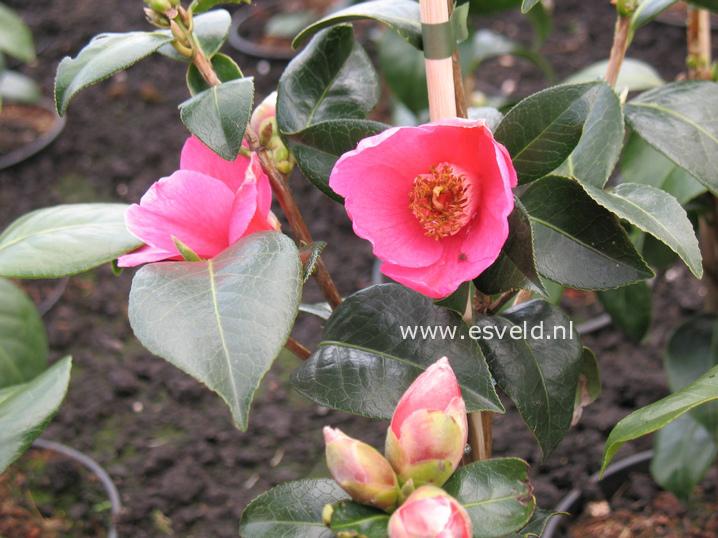 Camellia williamsii 'St. Ewe'