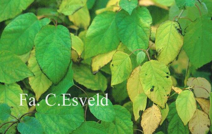 Hydrangea arborescens 'Bounty'