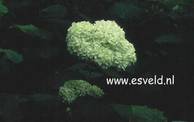 Hydrangea arborescens 'Sterilis'