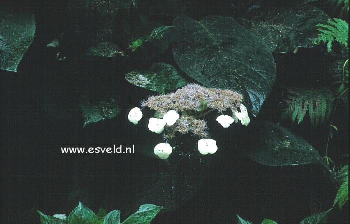 Hydrangea aspera 'Bellevue'