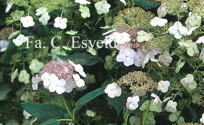 Hydrangea aspera rubusta var. longipes