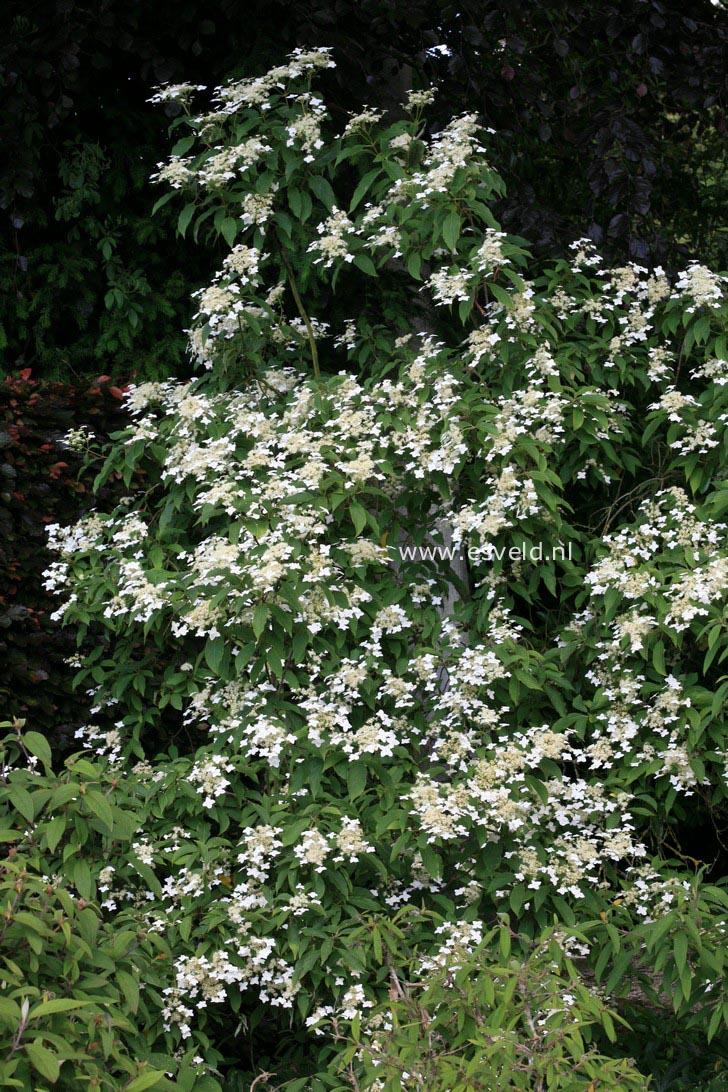 Hydrangea heteromalla 'Wilsonii'