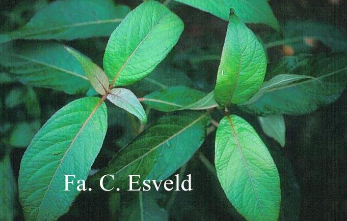 Hydrangea longifolia