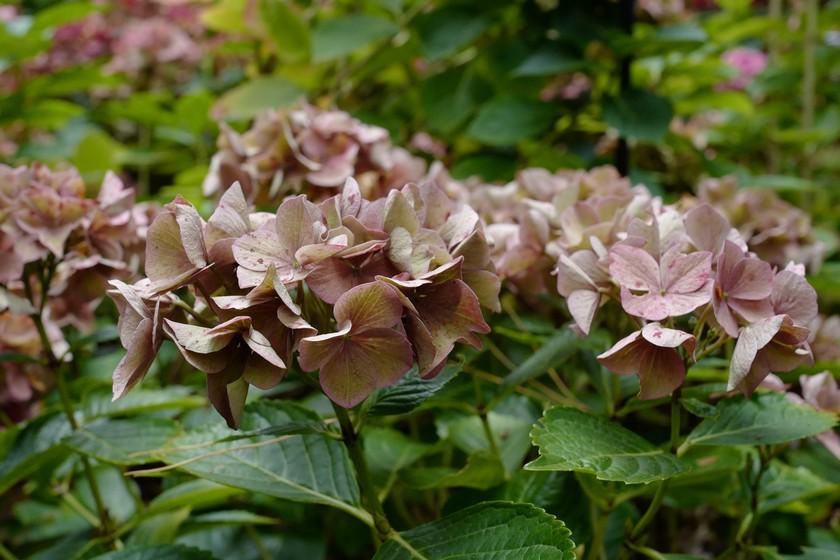 Hydrangea macrophylla 'Alpengluehn'