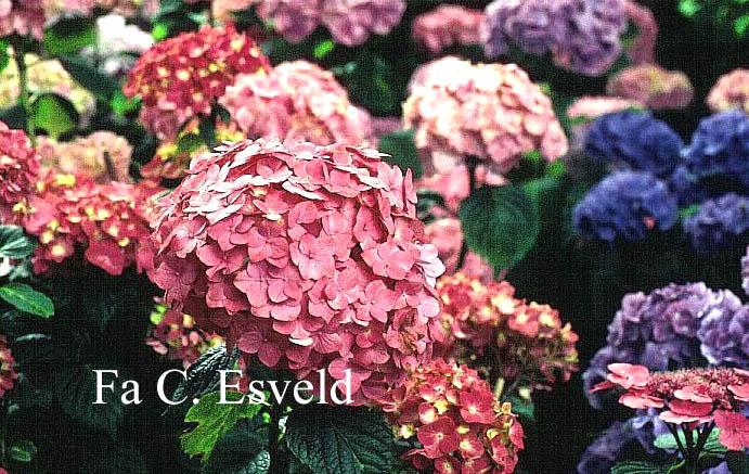 Hydrangea macrophylla 'Ami Pasquier'
