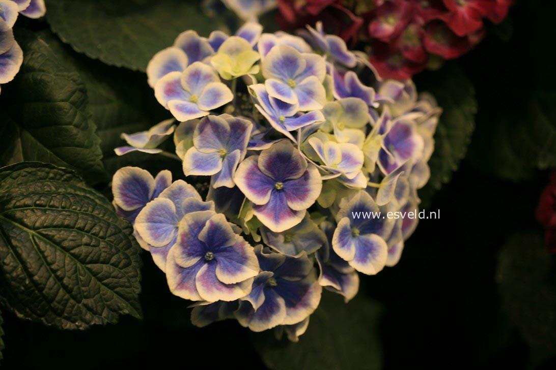 Hydrangea macrophylla 'Bavaria'