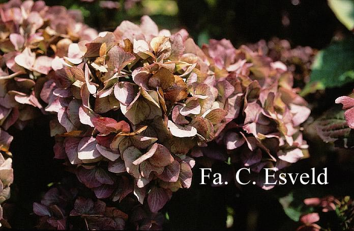 Hydrangea macrophylla 'Bela'