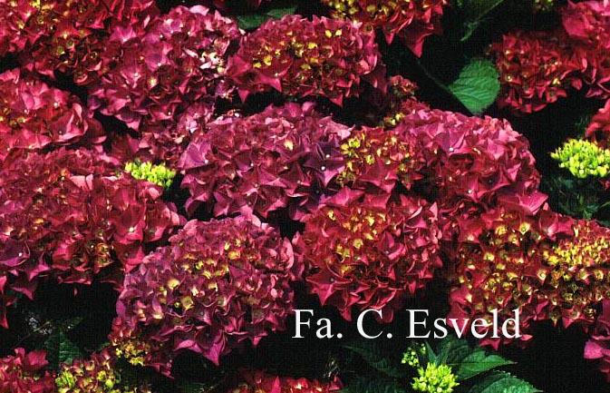 Hydrangea macrophylla 'Bottstein'