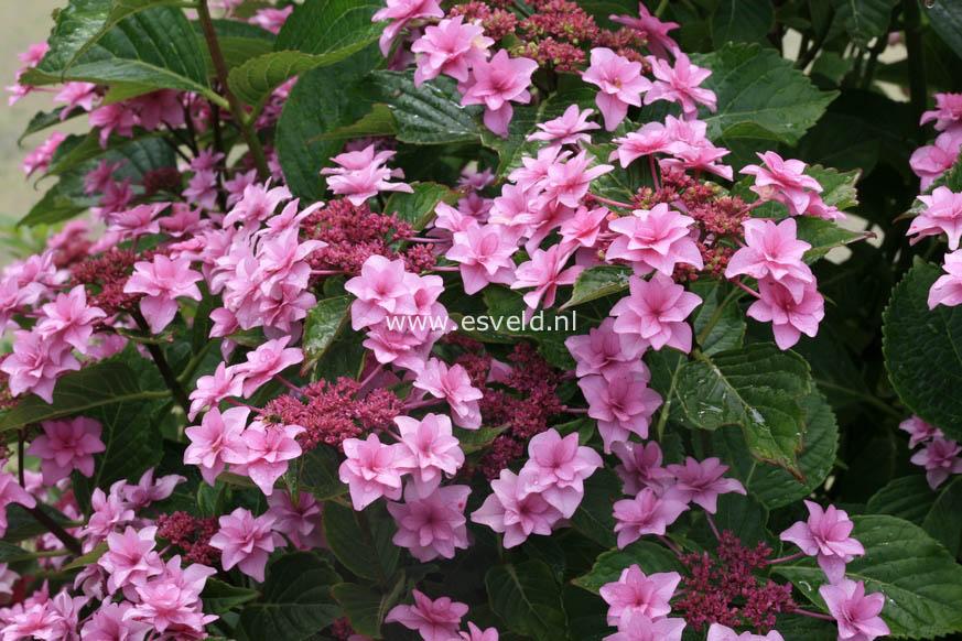 Hydrangea macrophylla 'Etoile Violette'