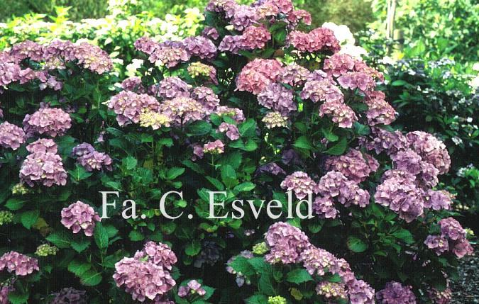 Hydrangea macrophylla 'Europa'