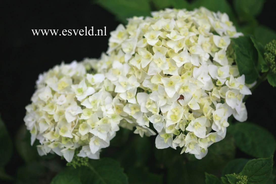 Hydrangea macrophylla 'First White'