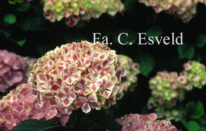 Hydrangea macrophylla 'Frau Katsuko' (LADY KATSUKO)