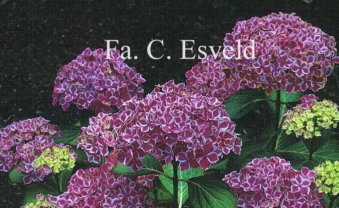 Hydrangea macrophylla 'Frau Nobuko' (LADY NOBUKO)