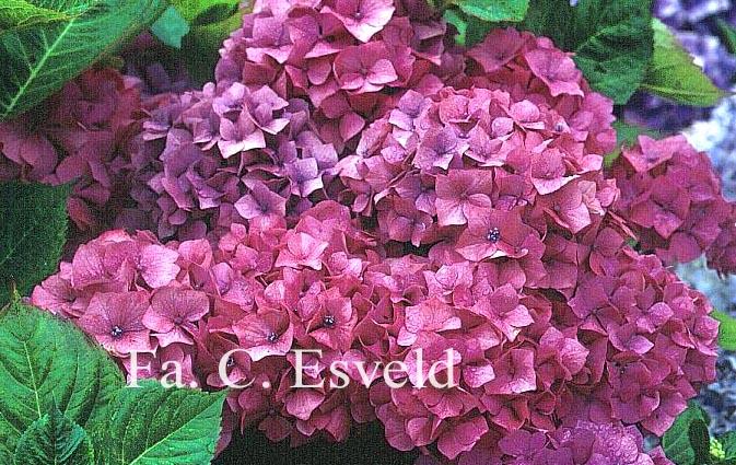Hydrangea macrophylla 'Gerda Steiniger'