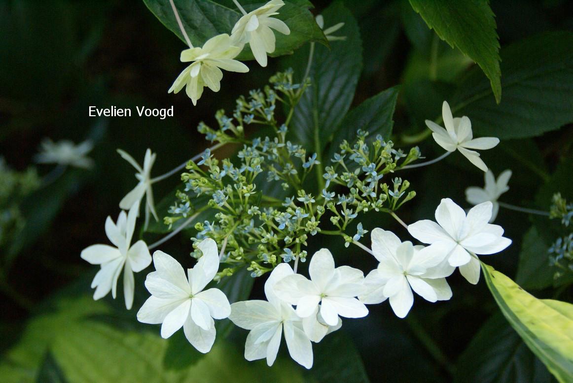 Hydrangea macrophylla 'Hanabi' (FIREWORKS)