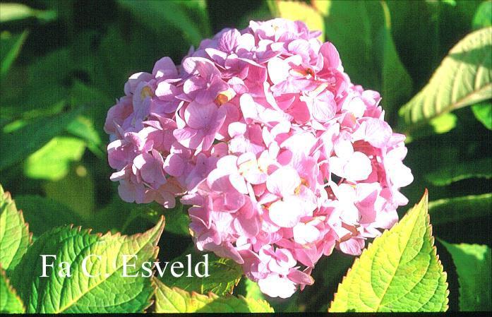 Hydrangea macrophylla 'Harry's Pink Topper'