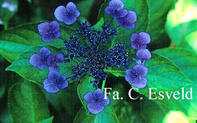 Hydrangea macrophylla 'Ito shiofuki kaigan shibori'