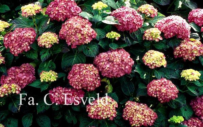 Hydrangea macrophylla 'King George V'