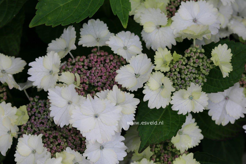 Hydrangea macrophylla 'Koria'