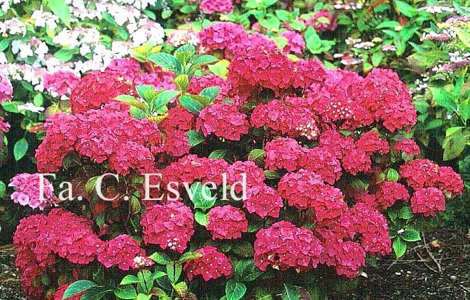 Hydrangea macrophylla 'Leopold III'