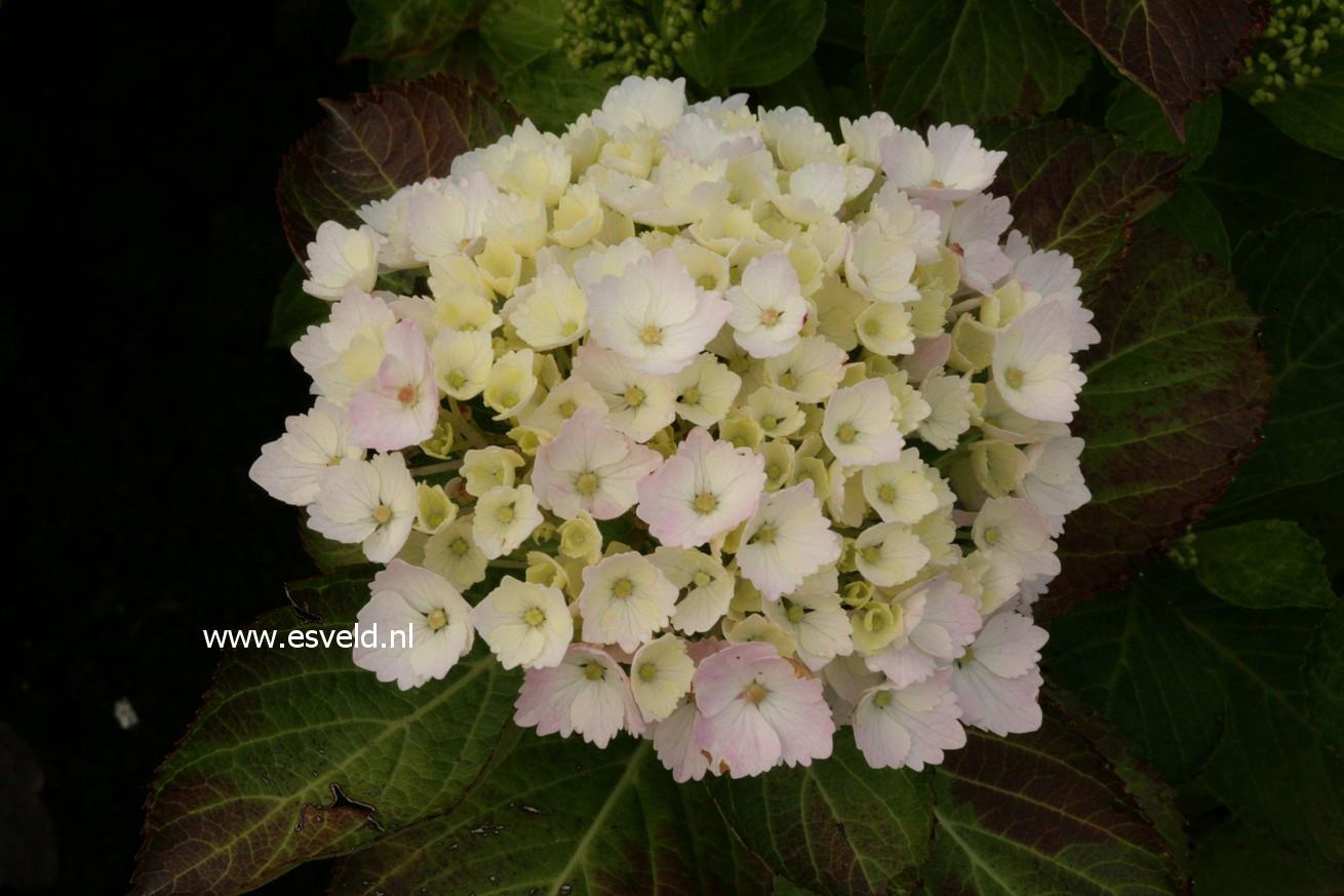 Hydrangea macrophylla 'Louis Sauvage'
