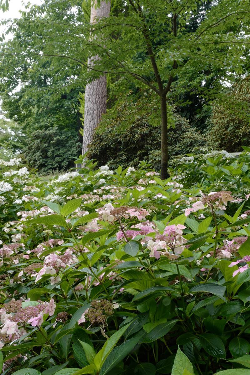 Hydrangea macrophylla 'Mariesii Lilacina'