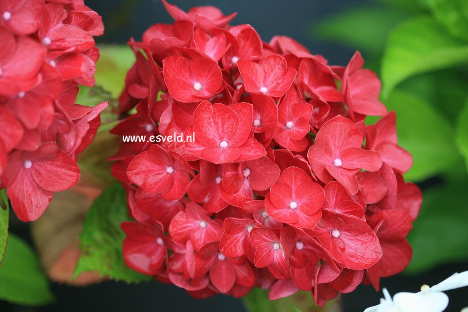 Hydrangea macrophylla 'Matisse'