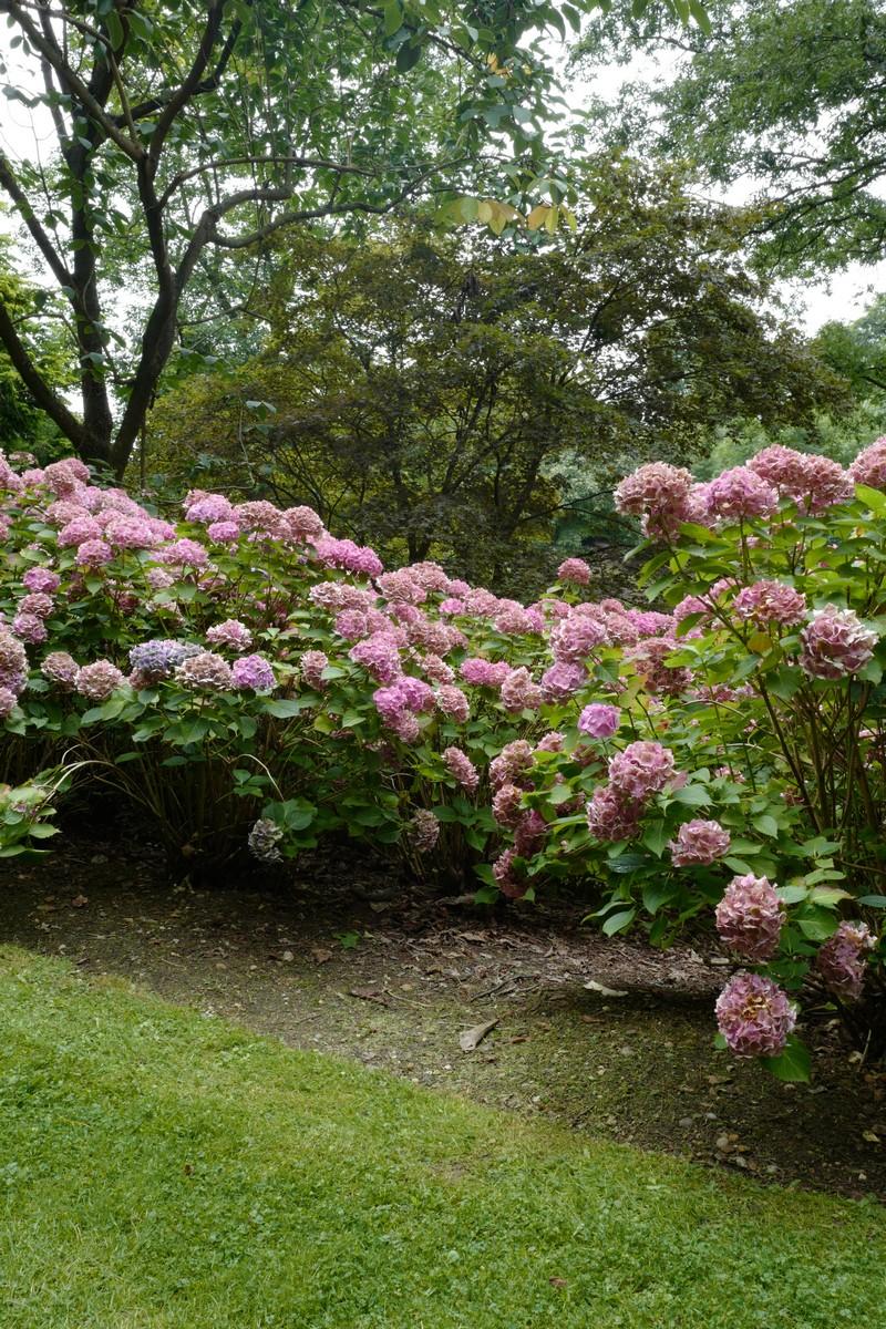 Hydrangea macrophylla 'Merveille'