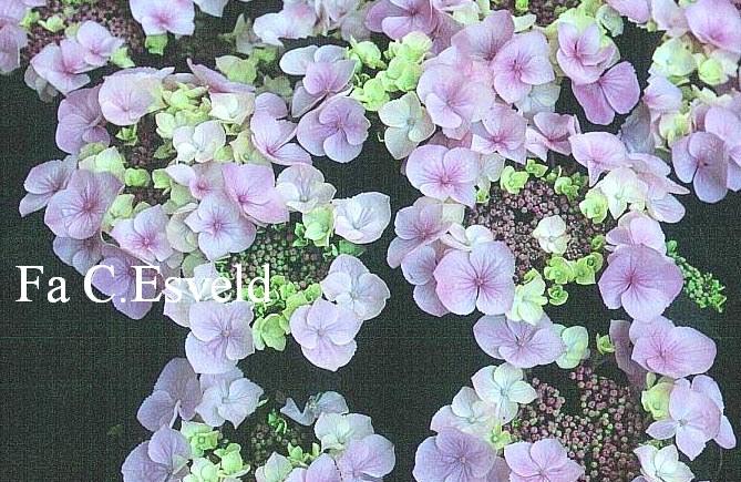 Hydrangea macrophylla 'Messalina'