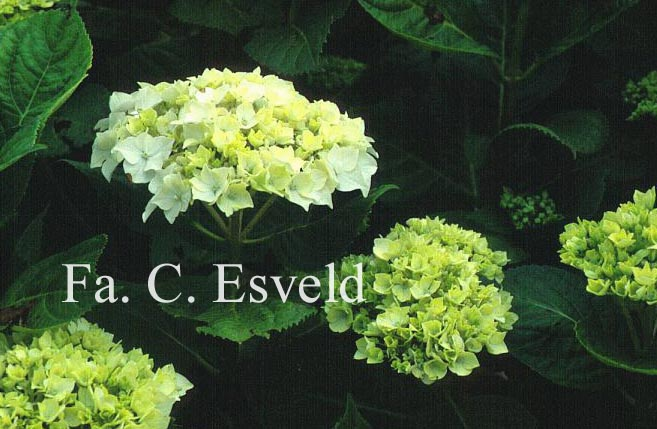 Hydrangea macrophylla 'Mme. Gilles-Gougon'