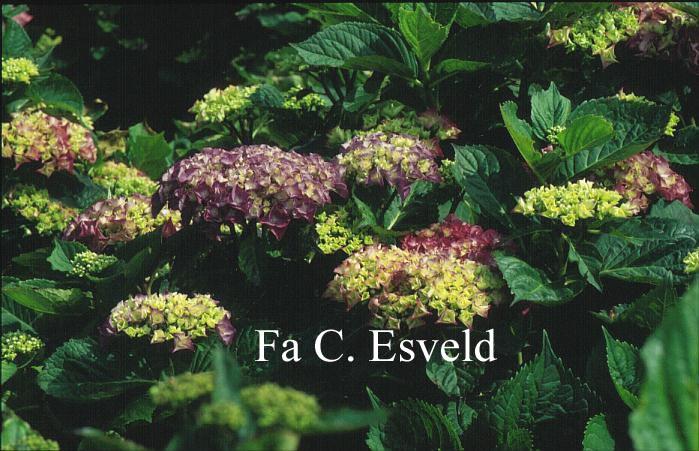 Hydrangea macrophylla 'Mme. Rene Bossard'