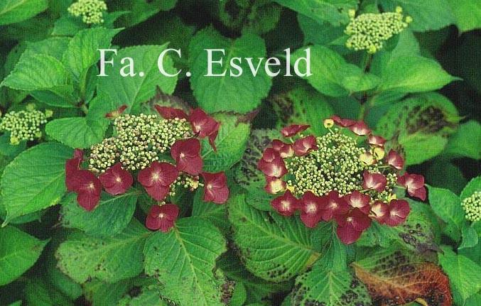 Hydrangea macrophylla 'Möwe'